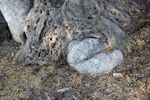734k6 Gortyne, olivier âgé de 1600 ans et colonne