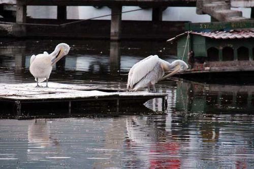 823c1 Pélicans du lac de Kastoria