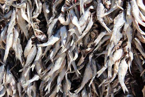 825c3 poissons séchant au soleil à Psarades