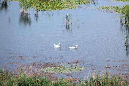 825h1 cygnes sur lac Prespa