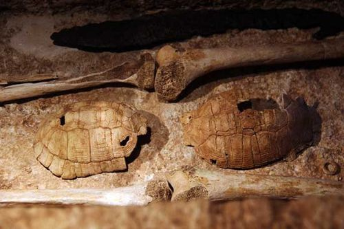 907c5b carapaces de tortues, caisses de résonance de lyre