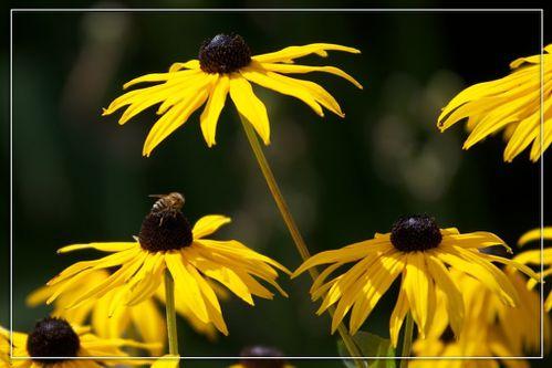 abeille-rudbeckia.jpg