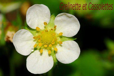 Fleur-FraisierT.jpg