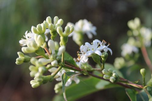 Heptacodium1.jpg