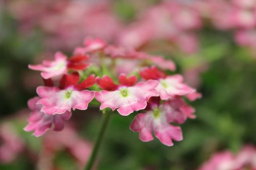 verbena-x-lanai-twister-red1.jpg