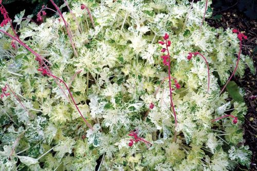 heuchera-sanguinea-money.jpg