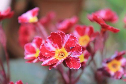 primula-vulgaris-dark-rozaleen-2.jpg