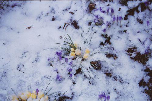 crocus sous la neige 1