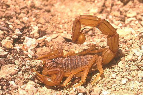 scorpion-buthus-occitanus.jpg
