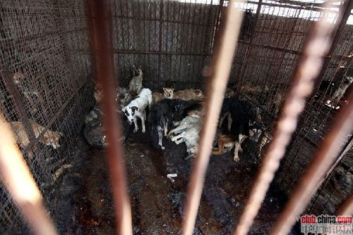 changchun abattoir illegal chine blog bragance overblog ani