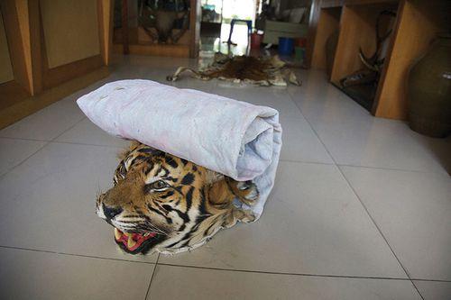 The-Big-Cat-Trade-in-Myan-012