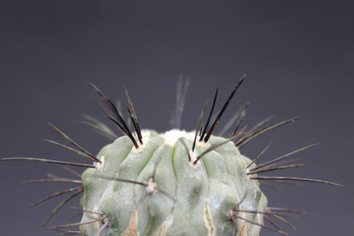 Copiapoa dealbata (15)-copie-1