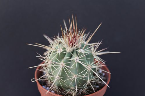 Echinocereus coccineus rosei SB 236 (7)
