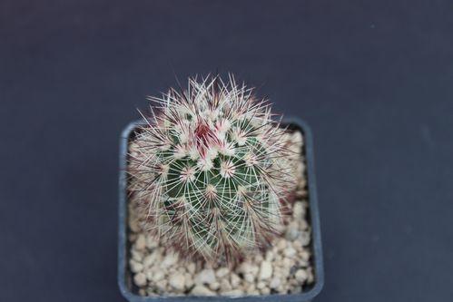 Echinocereus russanthus (9)