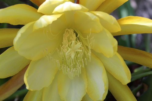 Epiphyllum x Golden Octopus (12)