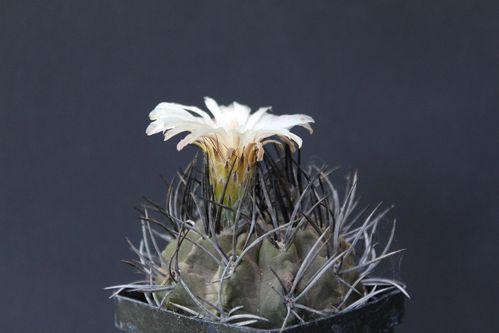 Eriosyce taltalensis paucicostata (26)