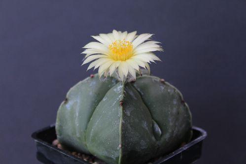 Astrophytum myriostigma nudum (19)
