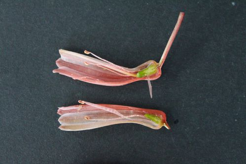 Aloe Cosmo green pearl (11)b