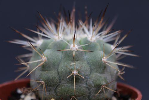 Copiapoa cinerea albispina (6)