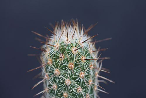 Thelocactus hastifer (12)