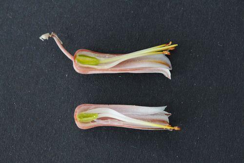 Aloe somaliensis (6)