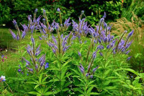 Veronicastrum-sibiricum