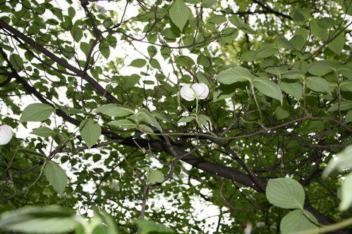 arbre a fleur blanche 2