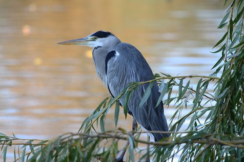 Heron-cendre.-Lac-de-Vincennes.-Photo-Michel-Riou--9-.JPG