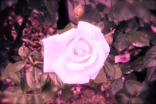 rose blanche rose