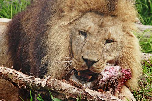 Lion_feeding04_-_melbourne_zoo.jpg