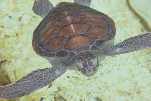 Tortues-Kelonia 0366