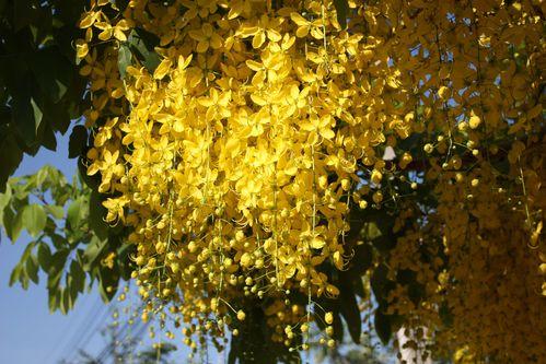 L'arbre emblème de Khon Kaen 04