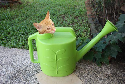 Le-chat-dans-l-arrosoir.jpg