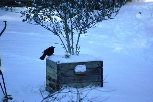 6 fevrier oiseaux olivier