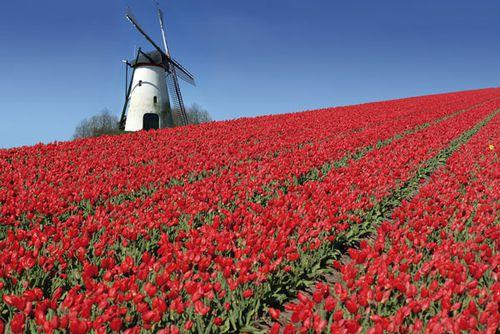 pays-bas-moulin-tulipes.jpg