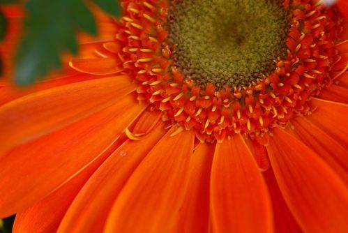 orange-gerber-daisy-flower-macro-photo.jpg