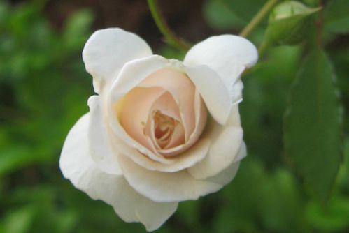 boutons-de-fleurs-0550.JPG