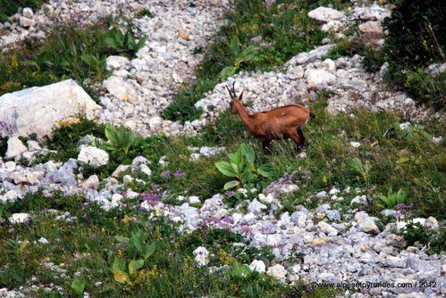 2012-08-03-chamois 0382