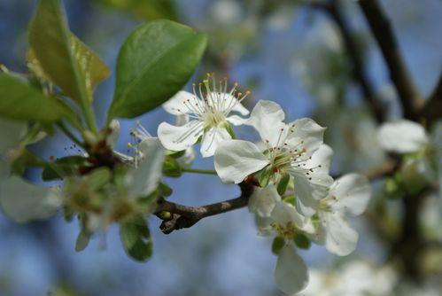 3 fleurs de prunier