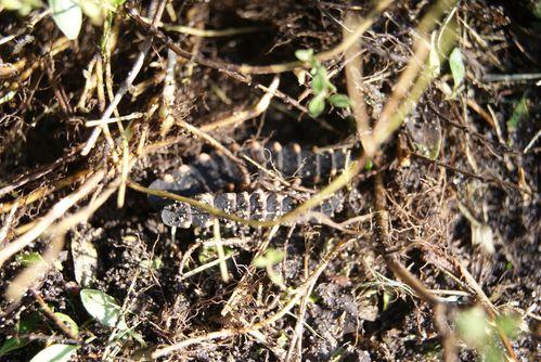 larve-de-ver-luisant--lampyre--coleoptere--4-.JPG