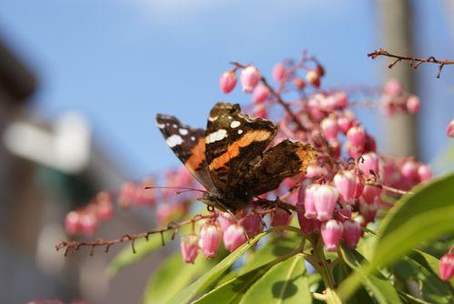 papillon-Vulcain-ou-Amiral--10-.JPG