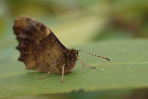 papillon-tircis-22.02--2-.JPG