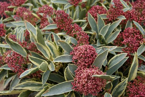 skimmia-japonica--magic-Marlot--a-feuillage-panac-copie-1.JPG