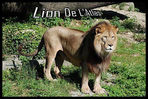 lion-algerie-jpg
