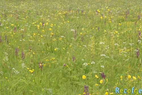 Anacamptis laxiflora ( Orchis à fleurs lâches ) 05bis-Anacamptis_laxiflora