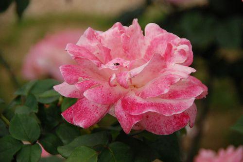 Roseriae 0128