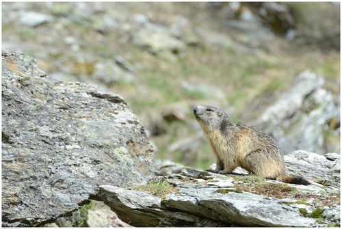 Marmottes-2013 0675