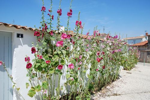 marsilly,charente,maritime,roses,tremieres