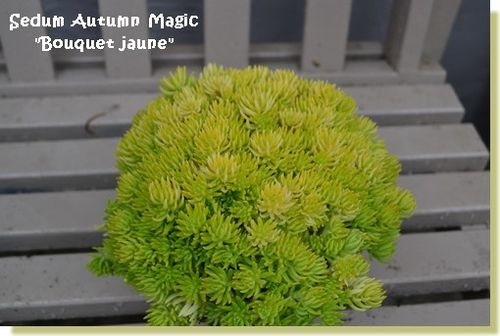 Sedum-Autumn-Magic--Bouquet-jaune-.JPG