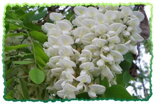 Fleurs-d-Acacia6.JPG